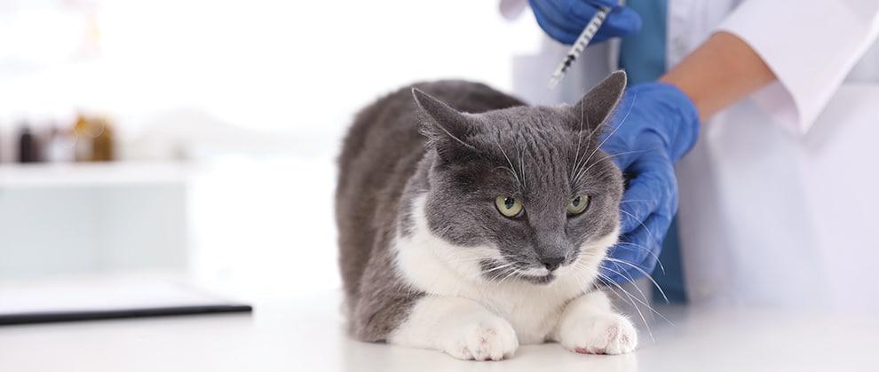 Feline Injection Site Sarcomas: Risk Factors, Diagnosis, Staging, and Treatment Algorithm