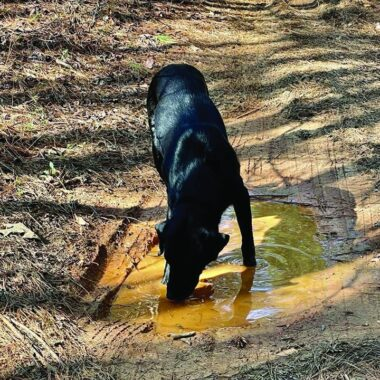 Figure 2. Although exposure to standing water is a classic risk factor for leptospirosis and large-breed, outdoor dogs are often considered at risk, disease is increasingly being recognized in small-breed dogs from urban environments. Courtesy of Dr. Zach Mills.