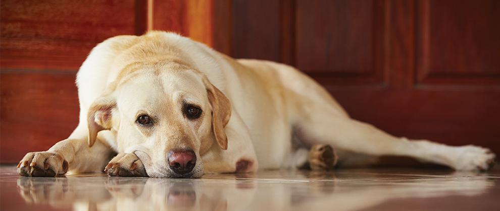 Adrenal-Dependent Atypical Hyperadrenocorticism in a Labrador Retriever