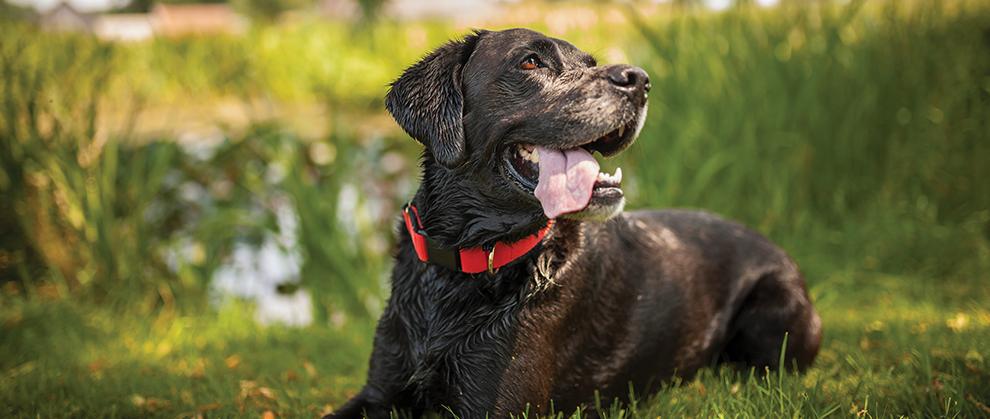 Multimodal Pain Management for Canine Osteoarthritis