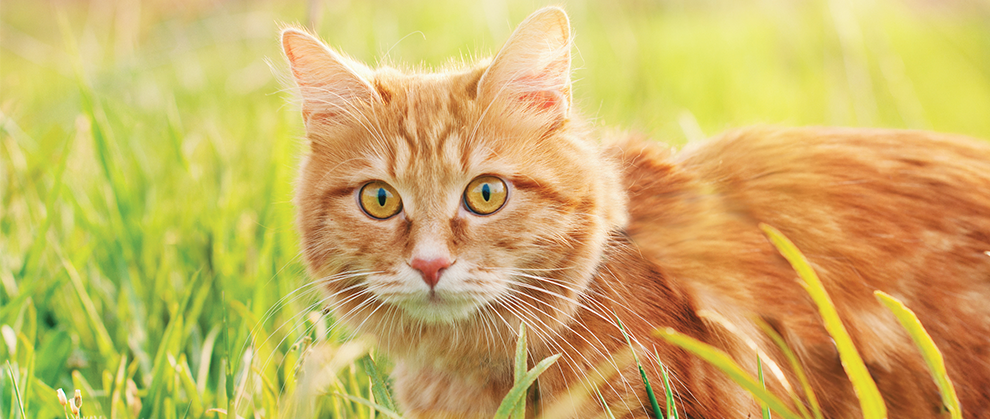 Cuterebriasis in Dogs and Cats