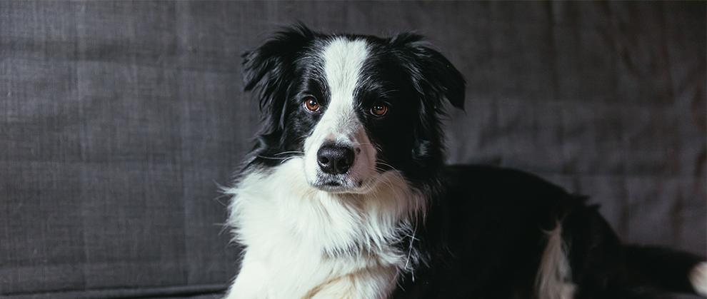 Primary Erythrocytosis in a Dog
